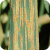Stripe Rust, caused by Puccinia striiformis, on wheat.