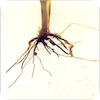 Take-all disease on wheat roots.